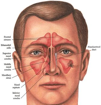 Nose_anatomy_front_2